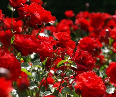 Kako pripremiti ruže za proleće?
